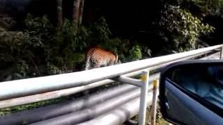 VLOG 2 Penampakan Se-ekor Macan tutul gunung salak