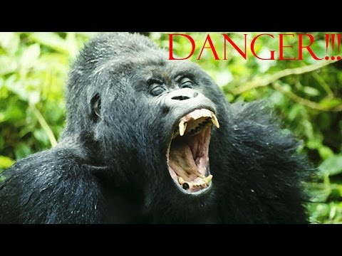 Gorilla attacks tourist taking selfie and video