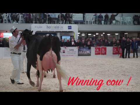 UK Dairy Expo 2017.Holstein Cow (4yr old class) 4K Video