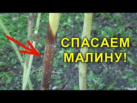 СПАСАЕМ МАЛИНУ! ПУРПУРОВАЯ ПЯТНИСТОСТЬ. ЧЕМ ОБРАБОТАТЬ МАЛИНУ ВЕСНОЙ | ремонтантная | выращивание | вредители | малиной | малины | малину | малина | листья | весной | сорта