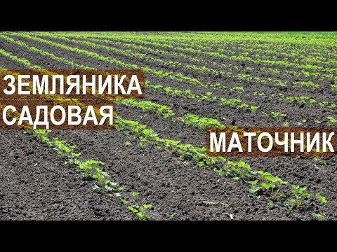 Земляника садовая. Маточник. Клубничная ферма Лесниченко.