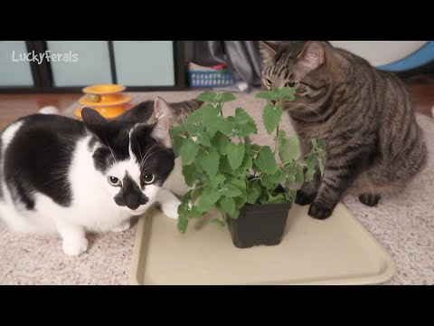 cats-left-alone-with-a-catnip-plant---cats-eating-catnip