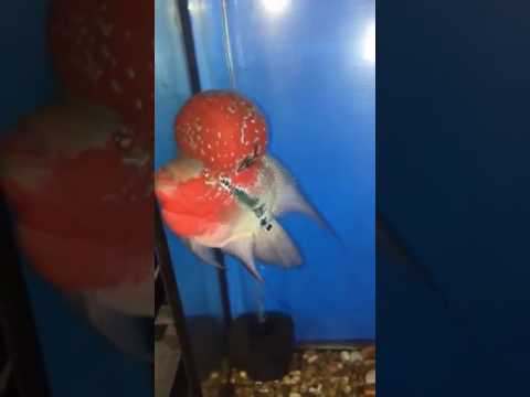 Super Red Dragon Flowerhorn for sale - High quality