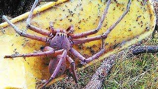 ТОП 10 самых опасных и ядовитых пауков на планете 2018 УЖАС