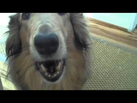 Lady the Collie Likes to Talk