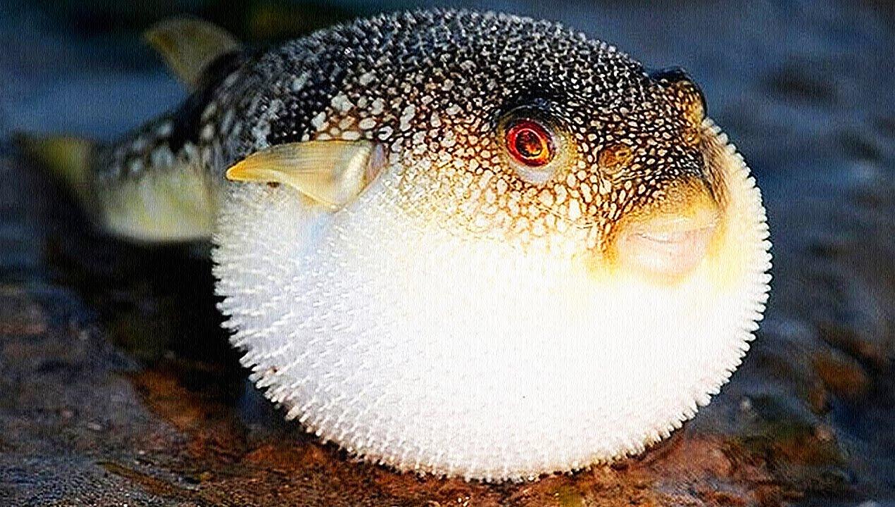 фуга рыба фото