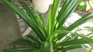 Панданус или винтовая пальма.