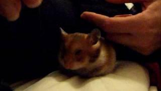 Tired cute sleepy hamster