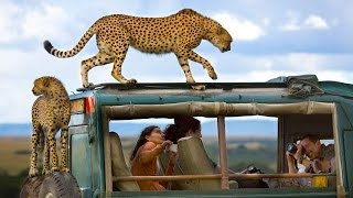 Incredible Moment Cheetah Jumps On Roof Of Jeep