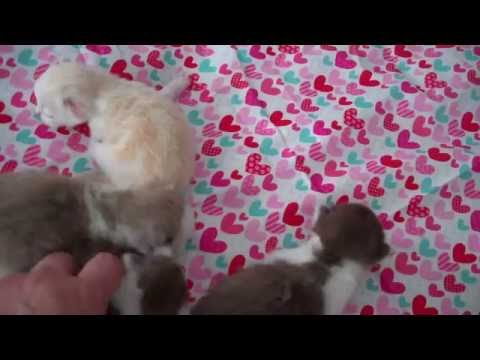 10 day old RagaMuffin kittens