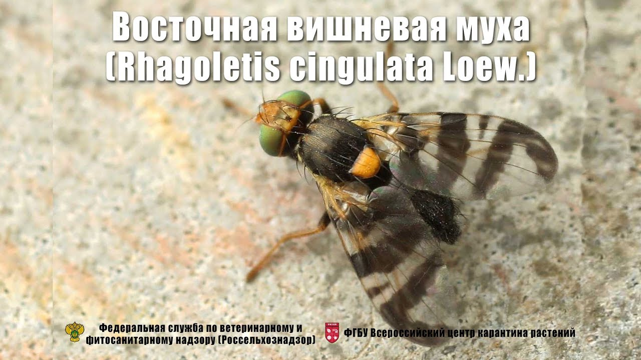 Восточная вишневая муха (Rhagoletis cingulata   Loew.)