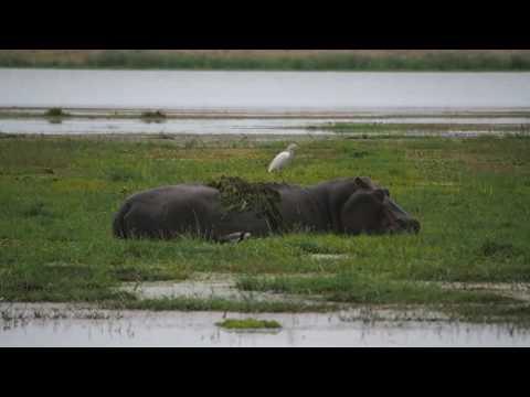 PC298979   Nijlpaarden Amboseli NP