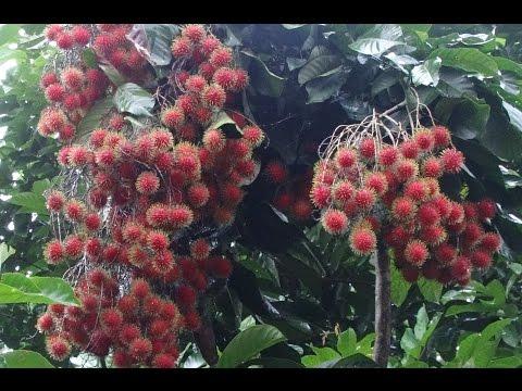 Rambutan Harvesting (Nephelium lappaceum)