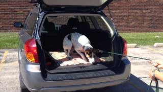 Teaching Lucy To Jump Into Car