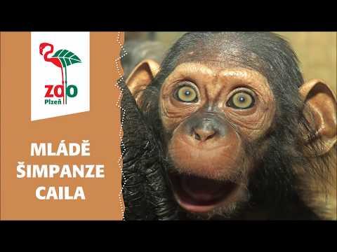 První video šimpanzice Caily