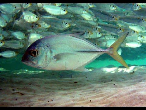 Зачем нужна боковая линия и каково её значение в жизни мирных и хищных рыб?