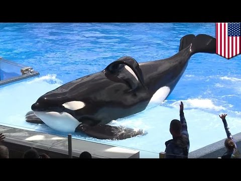 SeaWorld killer whale shows at San Diego park to end, no more orca shows by late 2016 - TomoNews