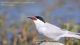 Video Arctic Tern Swallowing Too Big a Fish - High Def download MP3, 3GP, MP4, WEBM, AVI, FLV Agustus 2018