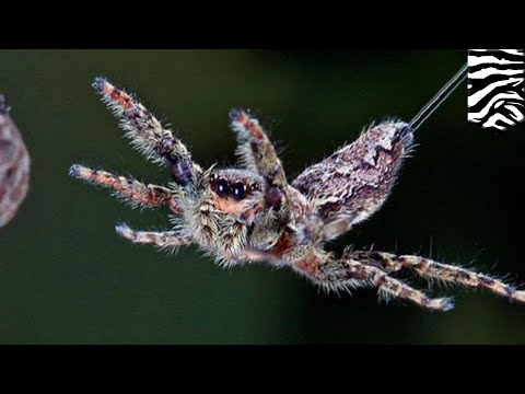 Flying spider: Spiders can fly through air using electricity  TomoNews