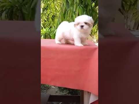 Pets shop in Delhi call 9212 5012 57 Shihtzu dog puppies for sale in Delhi Gurgaon Noida faridabad