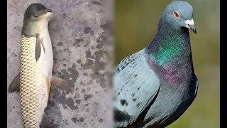 Sự thật về chú cá kỳ dị mình cá chép đầu giống chim bồ câu đang gây sốt mạng xã hội