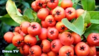Alıç Meyvesi ve Alıç Çayının Faydaları - Deva TV