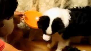 お茶碗を持ってきたら、おやつをもらえることを覚えた子犬は・・・。 と...