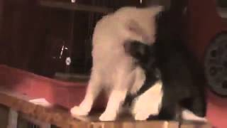 Енот пристает к коту