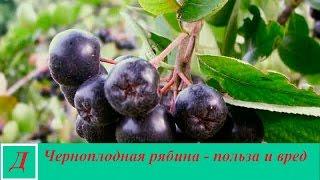 видео Рябина черноплодная полезные лечебные свойства и противопоказания
