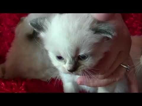 Minks, Seals, Bi-colors, Lynx, Sepai  Ragdoll  Fairy Dump's Kittens December 4 2017