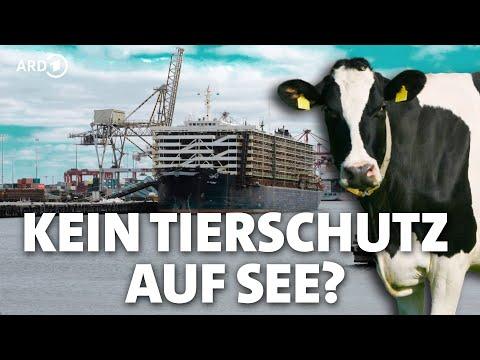 Rindertransport per Schiff: Tierschutz über Bord? | Panorama 3 | NDR
