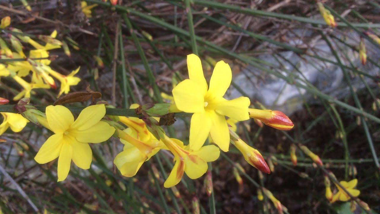 Jasmin d hiver ou 39 jasminum nudiflorum 39 une pl thore de fleurs jaunes youtube - Taille jasmin d hiver ...