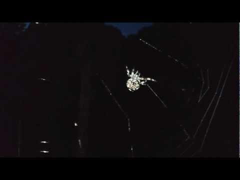 Female Barn Spider spinning web