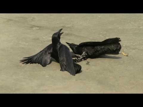 Crow Fighting In Nepal