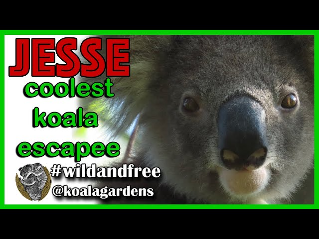 Jesse koala 🐨❣️✅ the coolest koala escapee we love to call Houdini is still going strong.