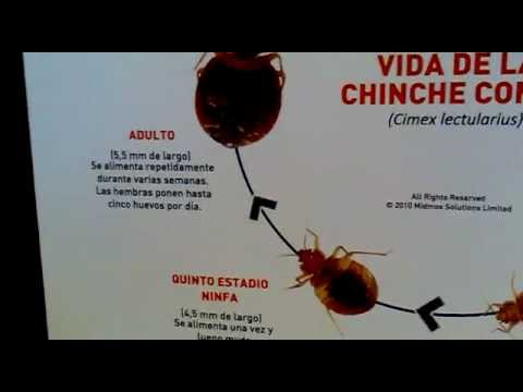 Ciclo Biologico de la Chinche - YouTube