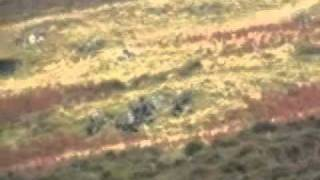 blencathra foxhounds marking to ground after hounds chase fox, very...