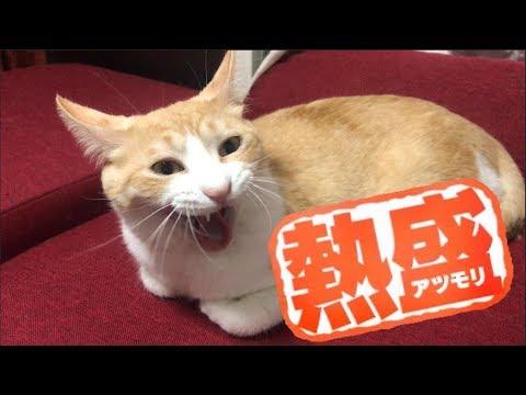 【熱盛】猫に『熱盛ィ!』してみたら反応が熱盛www