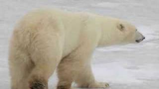 *Polar Bear Moments* Thumbnail