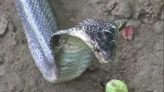 Breeding Cobras (Snake Farm in Vietnam)