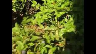 MVI 0270-Jagoda czarna,leśny owoc.