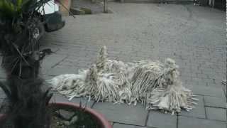 Komondor At Play