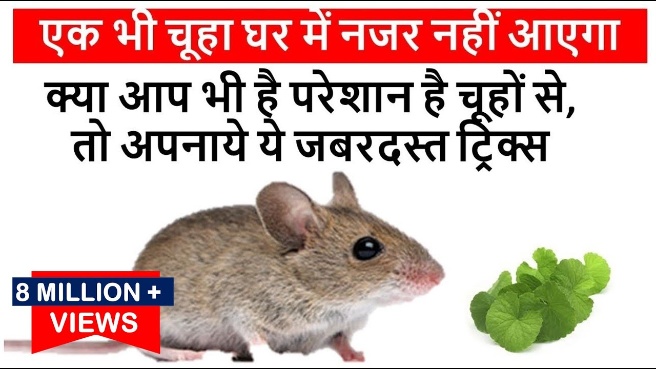 क्या आप भी है परेशान है चूहों से, तो अपनाये ये जबरदस्त ट्रिक्स-एक भी चूहा घर  में नजर नहीं आएगा Mouse - YouTube