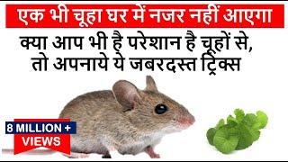 क्या आप भी है परेशान है चूहों से, तो अपनाये ये जबरदस्त ट्रिक्स एक भी चूहा घर में नजर नहीं आएगा Mouse