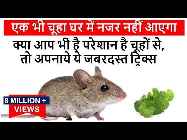 क्या आप भी है परेशान है चूहों से, तो अपनाये ये जबरदस्त ट्रिक्स-एक भी चूहा घर में नजर नहीं आएगा Mouse