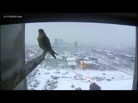 Manchester, NH Peregrine Falcon - Mom and Dad visit(20180117)