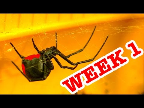 Rrdback Spider Pets Terrarium Week 1 Spider Study &  Critters Added