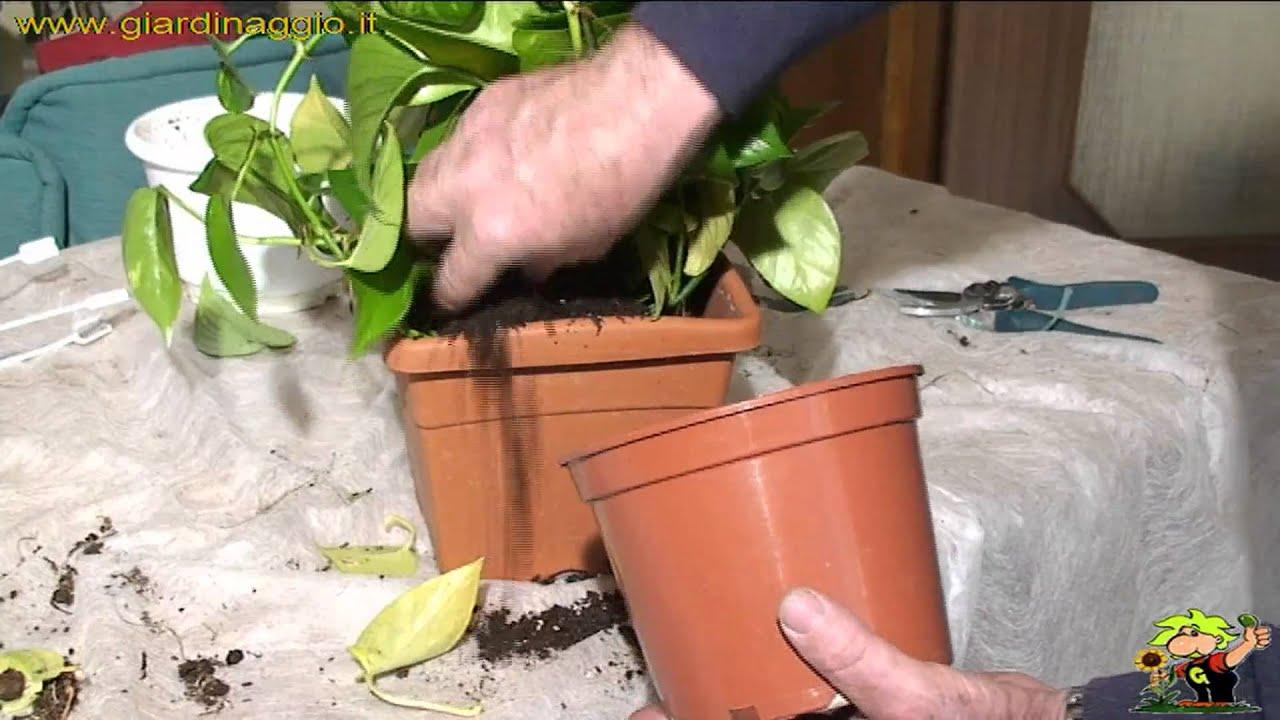 Tutori Per Rose Rampicanti fissare i rampicanti da interno ad un tutore in schiuma o muschio