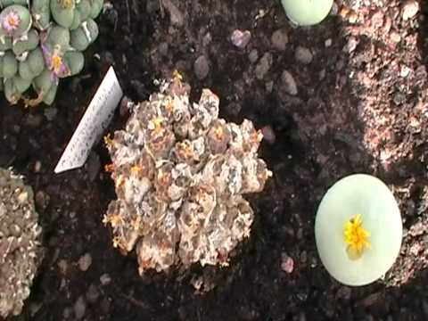 Mesembs: Conophytum Tour