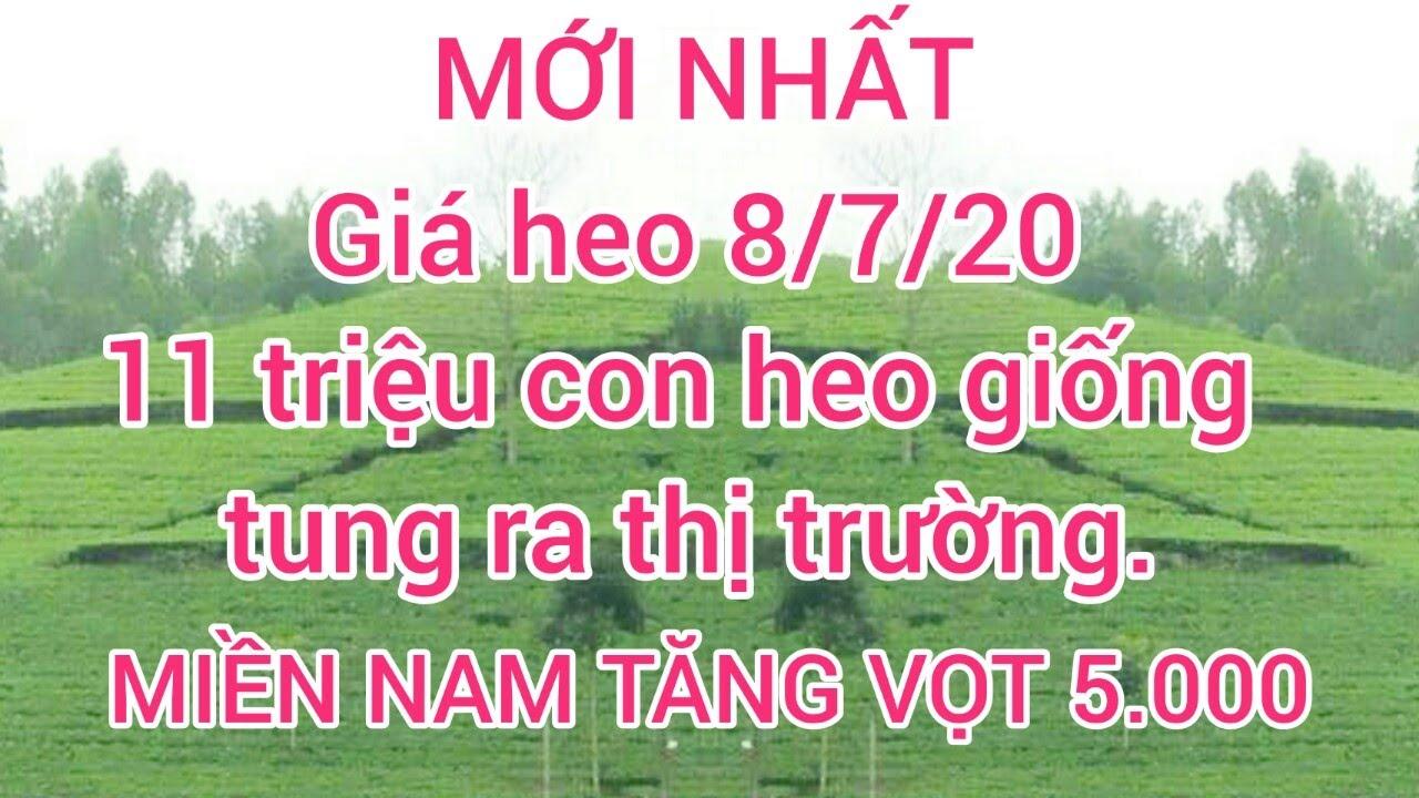 Giá heo ngày 8/7/20. Giá heo Miền Nam tăng vọt 5000   11 triệu con heo giống tung ra thị trường.
